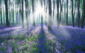 bluebell_wood