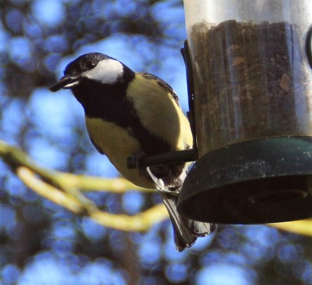 Great tit taking a sunflower seed